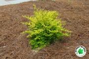 Sunshine-Ligustrum-close-up-Between-the-Edges-landscaping-and-lawncare-Evans-GA