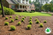 new-landscaping-and-pine-straw-Sunshine-Ligustrum-and-Dogwoods-Between-the-Edges-landscaping-Grovetown-GA